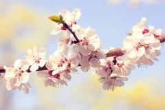 Bloesemboom over aardachtergrond De lente Stock Fotografie