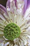 Bloesemlotusbloem vector illustratie