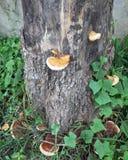 Bloesempaddestoel op de boom en de Boombasis de paddestoel is de schimmelgroei die typisch de vorm van een overkoepeld GLB op een royalty-vrije stock foto's