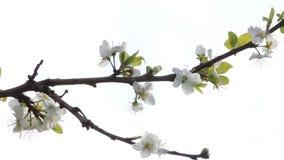 Bloesems op kersenboom in april stock videobeelden
