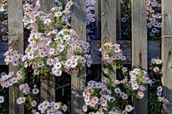Bloesems van asters die bij een houten omheining groeien Royalty-vrije Stock Foto