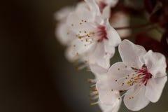 Bloesems van de de lente de bloeiende pruim Royalty-vrije Stock Afbeeldingen