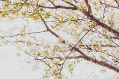 Bloesems van de zacht-tonen de roze en witte lente op een boom met overcas Stock Fotografie