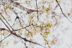 Bloesems van de zacht-tonen de roze en witte lente op een boom met overcas Royalty-vrije Stock Foto's