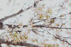 Bloesems van de zacht-tonen de roze en witte lente op een boom met overcas Royalty-vrije Stock Afbeelding