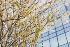 Bloesems van de zacht-tonen de roze en witte lente op een boom met overcas Royalty-vrije Stock Foto