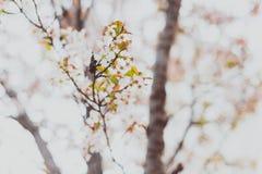 Bloesems van de zacht-tonen de roze en witte lente op een boom met overcas Stock Foto