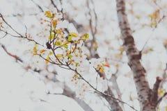 Bloesems van de zacht-tonen de roze en witte lente op een boom met overcas Royalty-vrije Stock Fotografie