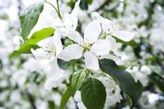 Bloesems van een appelboom Witte bloemen op een tak Stock Afbeelding