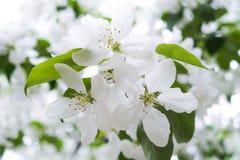 Bloesems van een appelboom Witte bloemen op een tak Royalty-vrije Stock Afbeeldingen