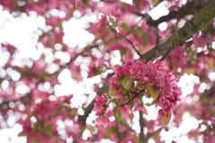 Bloesems van een boom Royalty-vrije Stock Fotografie