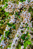 Bloesems van een wilde pruimboom Royalty-vrije Stock Foto