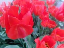 Bloesems van Rode Tulpenbloemen in rood en groen Stock Afbeelding