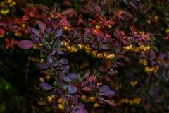 Bloesemstruik met kleine gele rode bloemen en de rode en groene bladeren van Bourgondië in de lente in het bos stock afbeelding