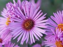 Blogging Tag - blühen Sie lila sonnige Blume im Garten Lizenzfreie Stockfotos