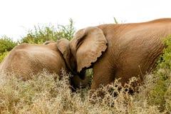 Blokada Na Drodze - afrykanina Bush słoń Zdjęcia Stock