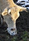 blokowa krowy głowy oblizania sól Fotografia Royalty Free