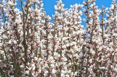 blom- abstrakt bakgrund Blommanärbild för vit kvast Royaltyfria Bilder