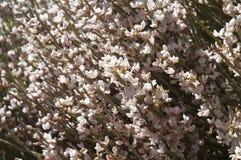 blom- abstrakt bakgrund Blommanärbild för vit kvast Royaltyfri Bild
