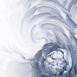 blom- abstrakt bakgrund En blomma av engrå färger pion på en bakgrund av vridna kronblad greeting lyckligt nytt år för 2007 kort Arkivbilder