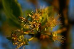 Blom av ett päronträd Arkivfoton