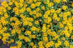 Blom- bakgrund av liten guling blommar i form av kamomillen, tusenskönor Royaltyfri Fotografi