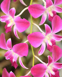 Blom- bakgrund av tropiska orkidér Arkivfoto
