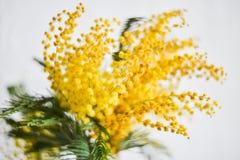 Blom- bakgrund: en filial av mimosan på en ljus bakgrund, copyspace för din text: hälsningkort, mellanrum, modell, bakgrund för Royaltyfri Foto