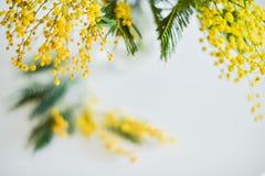 Blom- bakgrund: en filial av mimosan på en ljus bakgrund, copyspace för din text: hälsningkort, mellanrum, modell, bakgrund för Fotografering för Bildbyråer