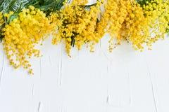 Blom- bakgrund: en filial av mimosan på en ljus bakgrund, copyspace för din text: hälsningkort, mellanrum, modell, bakgrund för Royaltyfria Foton
