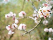 Blom- bakgrund för abstrakt säsongsbetonad vår blomma filialtree Fotografering för Bildbyråer