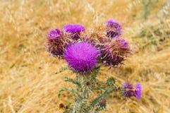 Blom- bakgrund för abstrakt tistelvildblomma med suddighetsbackgrou Arkivfoto