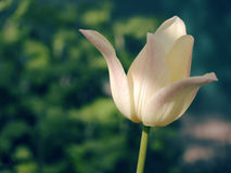 Blom- bakgrund för härlig vår med tulpan Arkivfoto