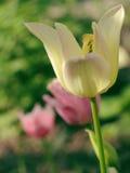 Blom- bakgrund för härlig vår med tulpan Fotografering för Bildbyråer