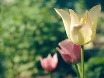 Blom- bakgrund för härlig vår med tulpan Royaltyfria Foton