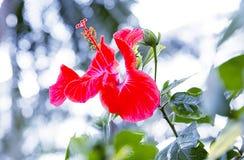 Blom- bakgrund för hibiskusrosa sinensis Arkivfoto