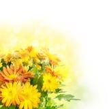 Blom- bakgrund för krysantemum Arkivbilder