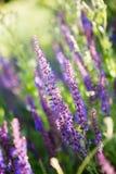 Blom- bakgrund för lös violett lavendel Royaltyfri Fotografi
