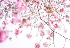 Blom- bakgrund för rosa tabebuia Arkivfoto