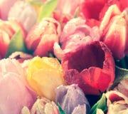 Blom- bakgrund för tappning av nya tulpan Arkivbild