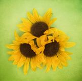 Blom- bakgrund för vår av solrosor Arkivbild