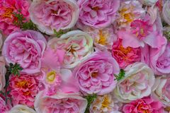 Blom- bakgrund gjorde av rosa bakgrund för Rosa damascena s, valentindag- och bröllop, förälskelsebegrepp royaltyfria bilder