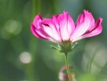 Blom- bakgrund - kosmos blomma - sommarmaterielfoto Arkivbild