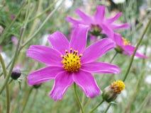Blom- bakgrund - kosmos blommar - sommarmaterielfoto Royaltyfria Bilder