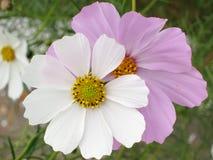 Blom- bakgrund - kosmos blommar - sommarmaterielfoto Arkivfoton