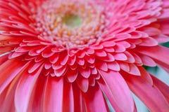 Blom- bakgrund med den mjuka fokusen Del av den rosa gerberaen för blomma med kronblad Royaltyfri Foto