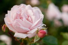 Blom- bakgrund med den mjuka fokusen Rosa färgros på suddig grön bakgrund Royaltyfria Foton