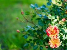 Blom- bakgrund med den röda och orange blomman av steg med stället för text Arkivbilder