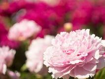 Blom- bakgrund med den rosa blomman av Piony med stället för text Royaltyfri Bild