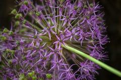 Blom- bakgrund med den violetta dekorativa löken Royaltyfri Fotografi